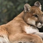 calm mountain lion is like a confident man