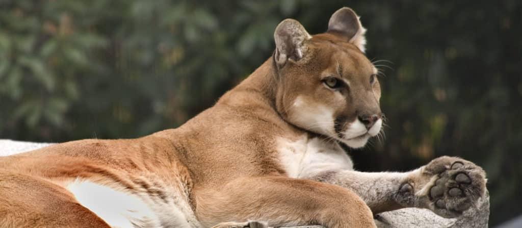 calm mountain lion is like a confident man